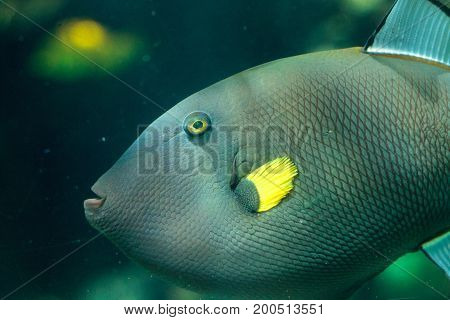 Pinktail Triggerfish With Yellow Fins Melichthys Vidua
