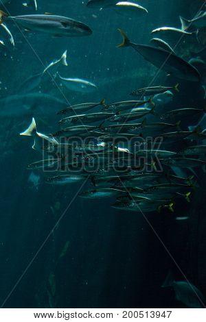 Pacific Chub Mackerel Scomber Japonicus School