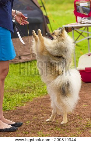 The dog stands on its hind legs in front of the hostess. Runs on the green grass, well lit by the sun. Space under the text. 2018 year of the dog in the eastern calendar Concept: parodist dogs, dog friend of man, true friends, rescuers.