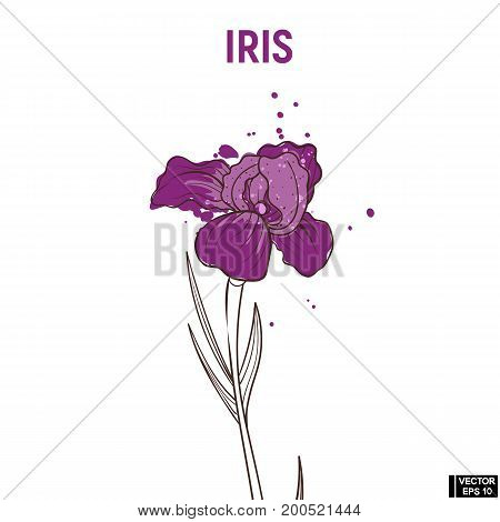 Color Hand Drawn Sketch Iris.