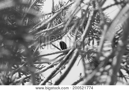 Abstract composition of branches of fir with a pineapple(pine cone) to the bottom(fund) like principal element