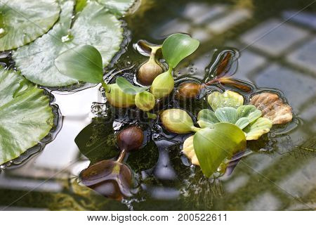 Close-up view of Water Hyacinth (Eichhornia crassipes). Botanical background.