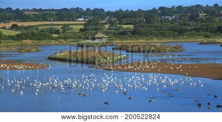 Flock of waterbirds in Black Hole Marsh in Seaton Wetlands Devon