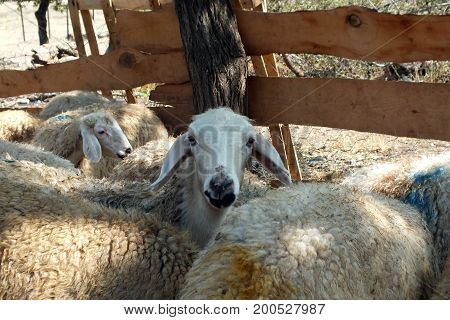 Sacrificial sheep for festival of sacrifices in muslim countries
