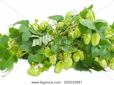 Intertwined branches of hops with leaves and seed cones on a white background
