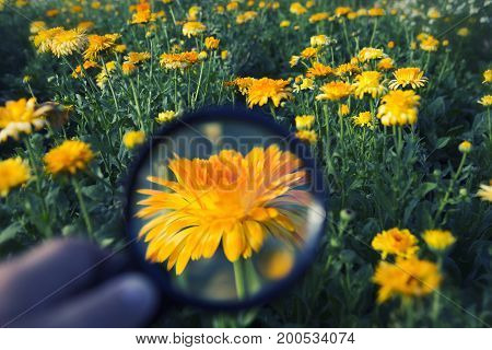 hand holding magnifying glass on an orange flower at flower field