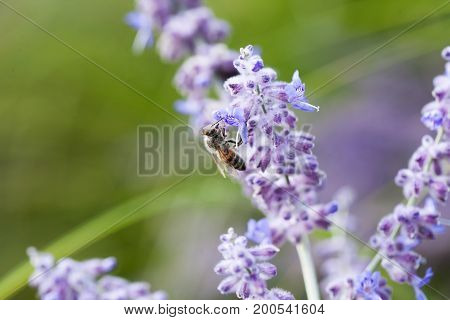 Bee on lavender collects nectar in the park