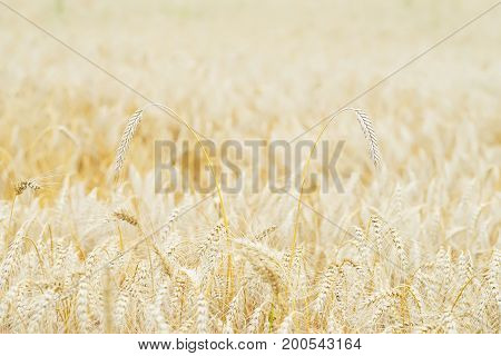 Wheat field, ears of cereals in the hot summer noon. With place for your text, for background use.