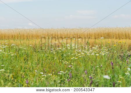 Motley grass and Flowering wildflowers in sunny summer day, growing along roadsides of rye field. Flowering plants of summer background