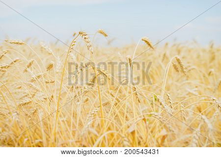 Cereal yellow ears in a hot, sultry summer afternoon against a cloudless light-blue sky. Rural summer background.