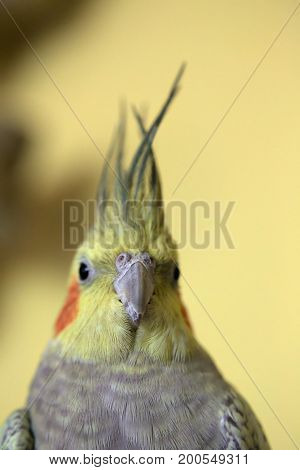 Portrait Of Pet Cockatiel With Yellow Background