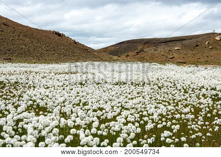 Flower fild near beautiful crater lake of a turquoise color located in Iceland.