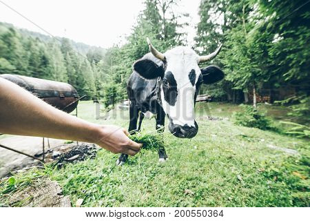 close up photo of white black cow with bell, hand with grass feed cow