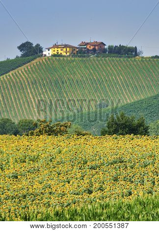 Rural landscape at summertime along the road from Castel San Giovanni to Ganaghello (Piacenza Emilia Romagna Italy) in the Tidone valley. Vineyards and sunflowers