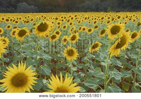 Beautiful rural landscape of sunflower field in sunny summer day.