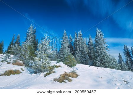 Fir Trees Covered With Fresh Hoar Frost