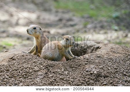 Watchful prairie dogs in front of their hole