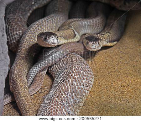 Closeup Dual Monocled Cobra on Sand Background