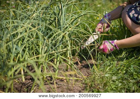 Closeup of woman's hands weeding in the garden the gardener pulling out the weed carefully in colorful garderning gloves. Hands hoeing weeds on hot summer day weeding grass spring soil preparation