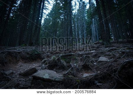 Dark coniferous forest. Mysterious forest in the fog.