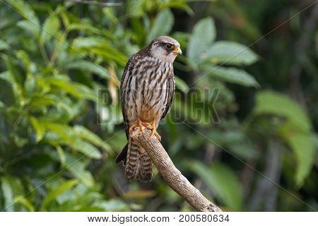 Amur Falcon Falco Amurensis Beautiful Birds Of Thailand