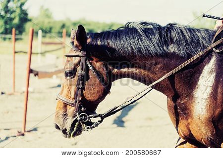 Portrait of beautiful saddled horse with black mane in countryside