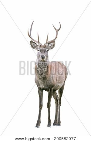 Red Deer (Cervus elaphus), isolated, with white background