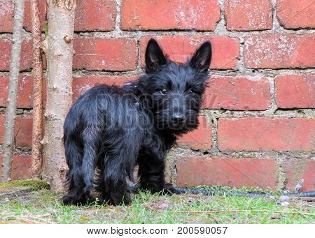 Cute black puppy dog standing in front of a red brick wall. Viewed from behind showing bottom and tail looking over shoulder with a cute expresion on face. Scottish Terrier breed.