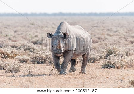 A black rhinoceros Diceros bicornis walking towards the camera in Northern Namiba