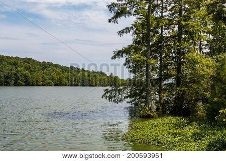 Bald Cypress trees growing near the shore at Stumpy Lake Natural Area in Virginia Beach, Virginia.