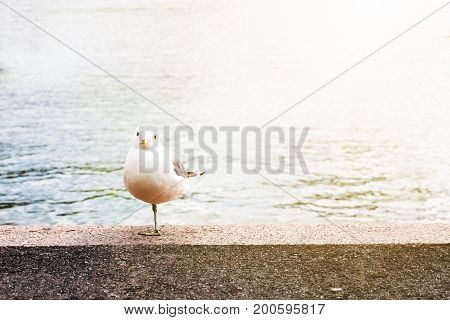 Clever gull staying on one leg on sea cost.