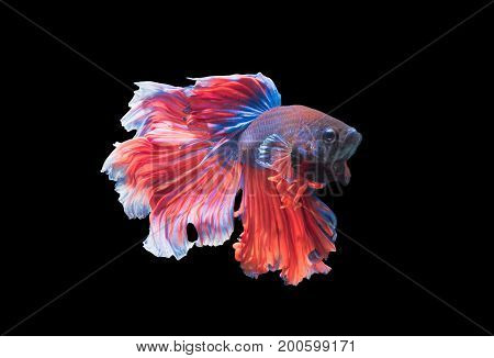 Betta splendens beautiful fighting fish isolated on black background fish fresh water in Thailand