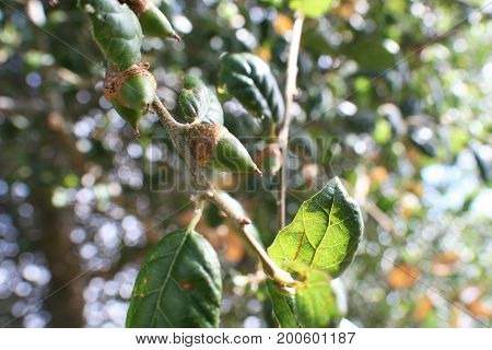 Coast Live Oak Acorn Close Up High Quality
