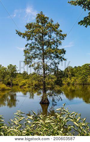 A Bald Cypress tree growing in the wetlands of Stumpy Lake Natural Area in Virginia Beach, Virginia.