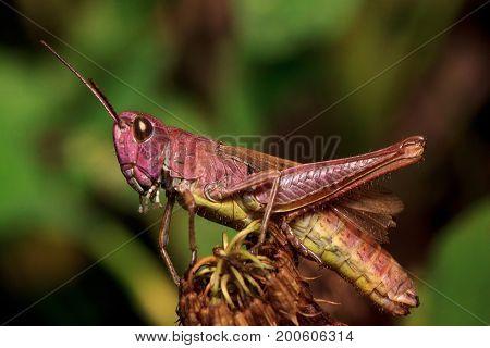 Beautiful grasshopper sitting on a dried flower. Animal in wildlife.