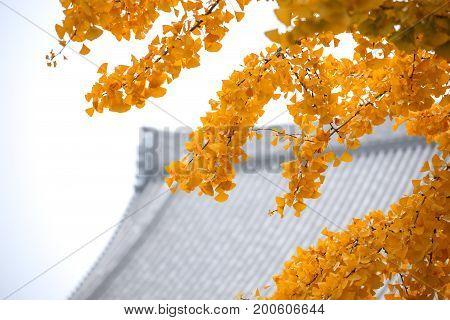 Close-up Ginkgo Biloba yellow leaf (ginkgo gingko maidenhair tree) in Autumn season at Senso-ji temple in Asakusa District a major tourist attraction in Tokyo Japan