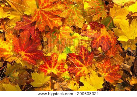 Decorative texture from bright autumn maple leaves