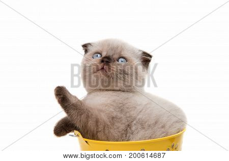 Beautiful lop-eared kitten isolated on white background