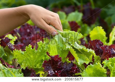 hand of woman with fresh lettuce on the background of bed with salad