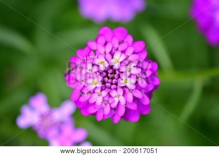 Small Purple Flowers Iberis Umbellate In Summer In A Garden