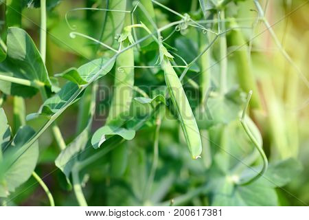 The Green Peas In The Vegetable Garden