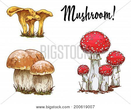 Mushrooms orange cap boletus fly agaric and chanterelles isolated on white background. Vector