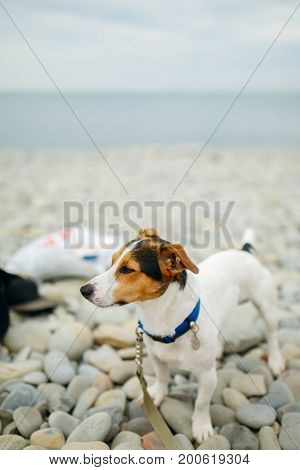 Portrait of adorable Jack Russell Terrier in blue collar and leash standing on pebble beach looking away.