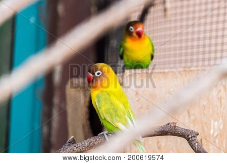 Yellow-collared Lovebird (agapornis Personatus), Aka Masked Lovebird Or Eye Ring Lovebird At Beer-sh