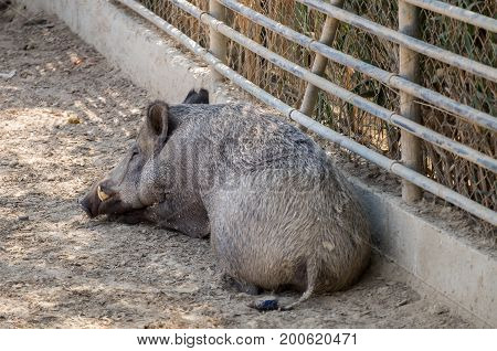 Wild boar (Sus scrofa) at Beer-Sheva Zoo. Israel. This animal also known as the wild swine or Eurasian wild pig