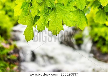 Green Wet Maple Leaves With Water Drops Closeup By Waterfall River
