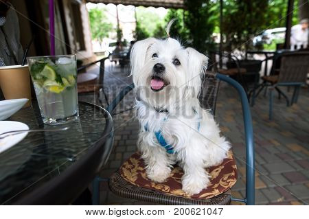Cute fluffy white dog in a cafe on a chair