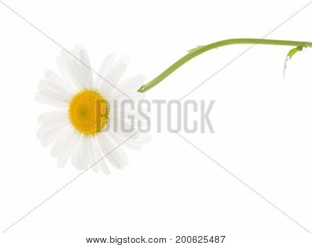 Tender beautiful fragile chamomile flower with white petals and yellow center and with a thin green curved stem on a white isolated background