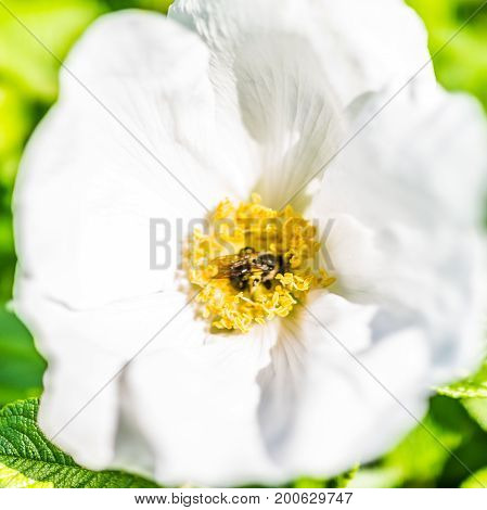 Macro Closeup Of White Rugosa Rose Rosehip Flower On Bush In Maine With Bumblebee