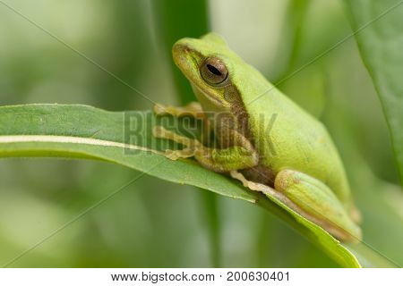 Green tropical meadow frog standing on a blade of grass, Thailand